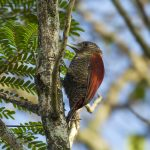 Blood colored woodpecker
