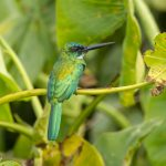 Green tailed jacamar