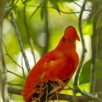 Guianan Cock-of-the-rock - © Ron Allicock