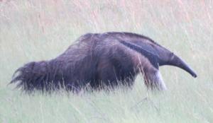 Giant anteater feeding near Kwatata village - photo by Ron Allicock